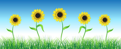 Sunflower on green field. Vector illustration Royalty Free Stock Photo