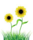 Sunflower on green field. Vector illustration Royalty Free Stock Photos