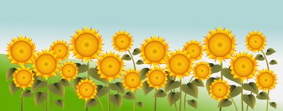 Sunflower on green field. Vector illustration of sunflowers on a field Stock Photo
