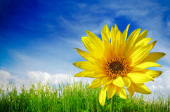 Sunflower on green grass Royalty Free Stock Images