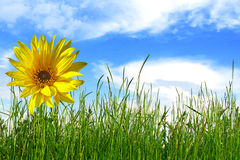 Sunflower in green grass Stock Photography