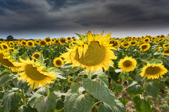 Sunflower on green grass and blue sky Stock Image