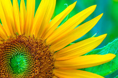 Sunflower on green leaf background. Closeup sunflower on green leaf background stock image