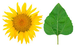 Sunflower and green leaf Stock Images