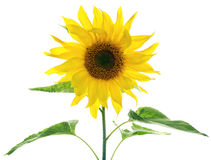 Sunflower with green leaves. Isolated on white background with copy space Stock Photography