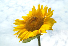 Sunflower on green stalk over sky Stock Image