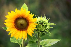 Organic Farming Gardening Sunflower with Green Bud Sunflower Blossom - Healthy Lifestyles Ecology. Close-up shot of full sunflower along with a bud or sunflower royalty free stock photo