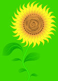 Sunflower on green. Vector. Stock Images
