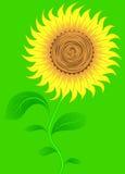 Sunflower on green. Vector. Stock Images