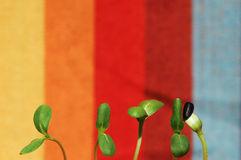 Sunflower greens. Five green sunflower sprouts in a colorful background Stock Photo