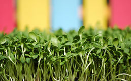 Sunflower greens. Green sunflower sprouts in a colorful background Stock Photo