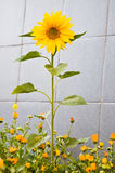 Sunflower grew among the flowers of marigolds Stock Photos