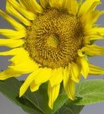 Sunflower in grey back Stock Photos