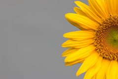 Sunflower  on a grey Background. Sunflower on Gray background,  on a grey Background Stock Image