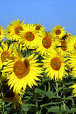 Sunflower group. Group of flowering sunflowers royalty free stock images