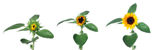 Sunflower grow stages isolated Stock Photo