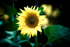 Sunflower growing on a farm. tinted Royalty Free Stock Photo