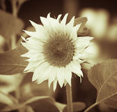 Sunflower growing on a farm. tinted Stock Photography