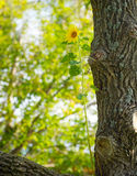 Sunflower growing in a tree. Stock Images