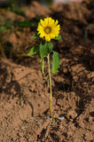 Sunflower grown in the soil Royalty Free Stock Photo