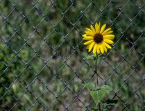 Sunflower grows along a fence royalty free stock photos
