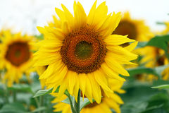 Sunflower grows and blooms. Big sunflower grows and blooms close up on white background Royalty Free Stock Image