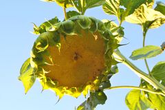 Big head of green sunflower royalty free stock photography