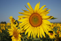 The sunflower grows in the field Royalty Free Stock Photos