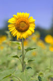 Sunflower Grows in a Field in Lexington, SC Royalty Free Stock Photos