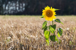Sunflower grows in the field with wheat. Royalty Free Stock Photography