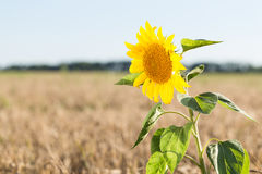 Sunflower grows in the field with wheat. Stock Images