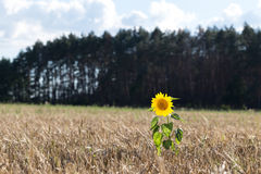 Sunflower grows in the field with wheat. Royalty Free Stock Photo