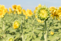 Sunflower growth and blooming in field Stock Photography