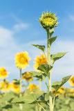 Sunflower growth and blooming in field Royalty Free Stock Photos