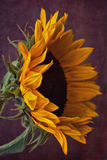 Sunflower on Grunge Background Royalty Free Stock Photo
