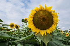 Sunflower had dominating in the field of sunflowers and cloudy sky. Sunflower had close up dominating in the field of blooming sunflowers with yellow petals and stock image