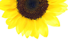 Sunflower half Stock Photography