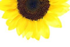 Sunflower half Stock Photography