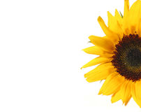 Sunflower half Stock Image