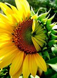 Sunflower half blooming. Stock Image