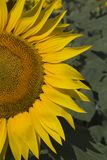 Sunflower. A sunflower half close up against green leaves Stock Photo
