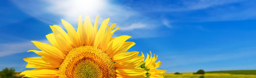 Sunflower. Half of sunflower towards blue sky Stock Photography