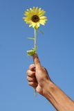 Sunflower and hand. Little sunflower under a blue sky Stock Images