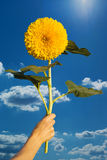 Sunflower in a hand Royalty Free Stock Photos