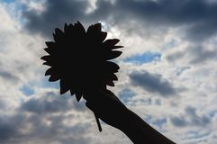 Sunflower in hand against the beautiful sky background stock photo
