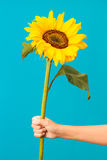 Sunflower in the hand Stock Image
