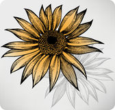 Sunflower, hand-drawing. Vector illustration. Royalty Free Stock Photography