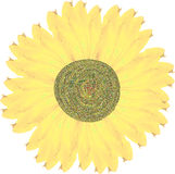 Yellow Hand Painted Sunflower Stock Images