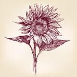 Sunflower hand drawn vector llustration Stock Photography