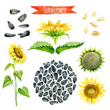 Sunflower, hand-painted watercolor set Stock Photography